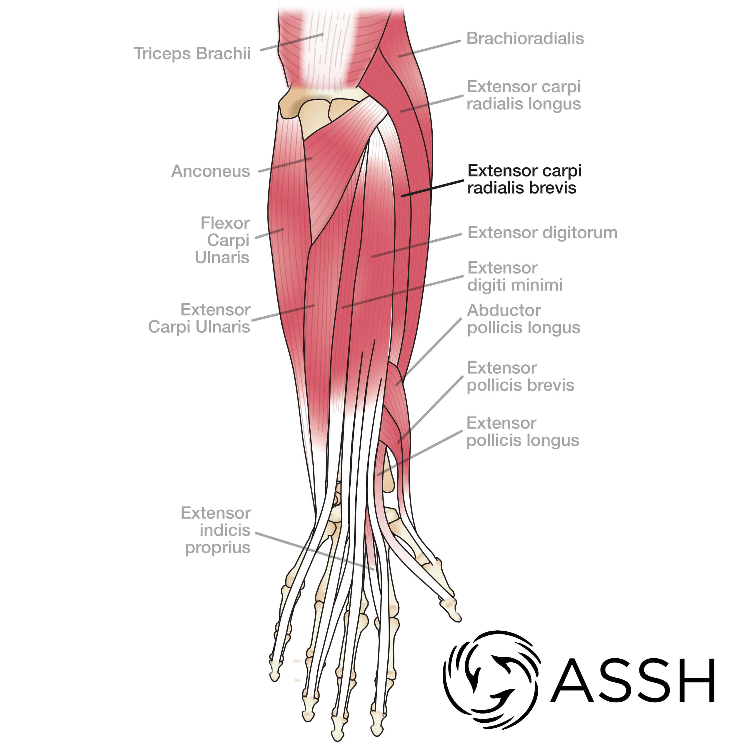 Body Anatomy Upper Extremity Tendons The Hand Society
